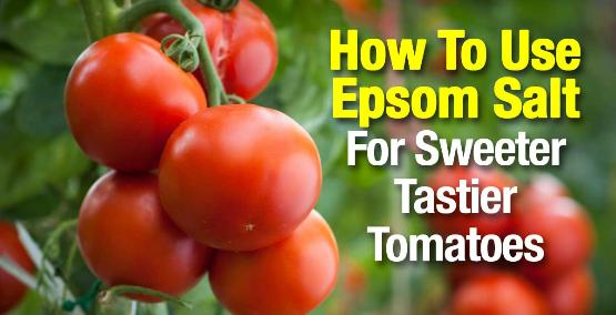 How to grow sweeter tomatoes