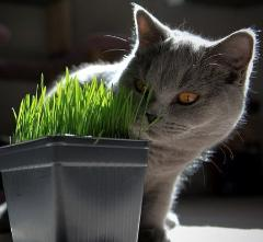 Oat grass for cats